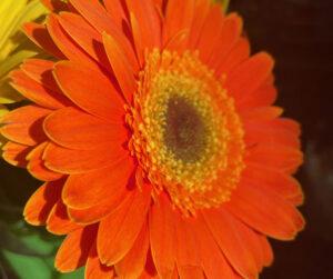 A beautiful orange flower